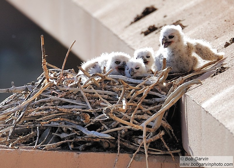 Great Horned Owlets (Rare, 4 owlets in nest)<br /> Weld County, USA