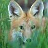 Red Tailed Fox Pup<br /> Boulder County, Colorado