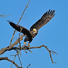 American Bald Eagle<br /> Boulder County, Colo<br /> Lagerman Reservoir