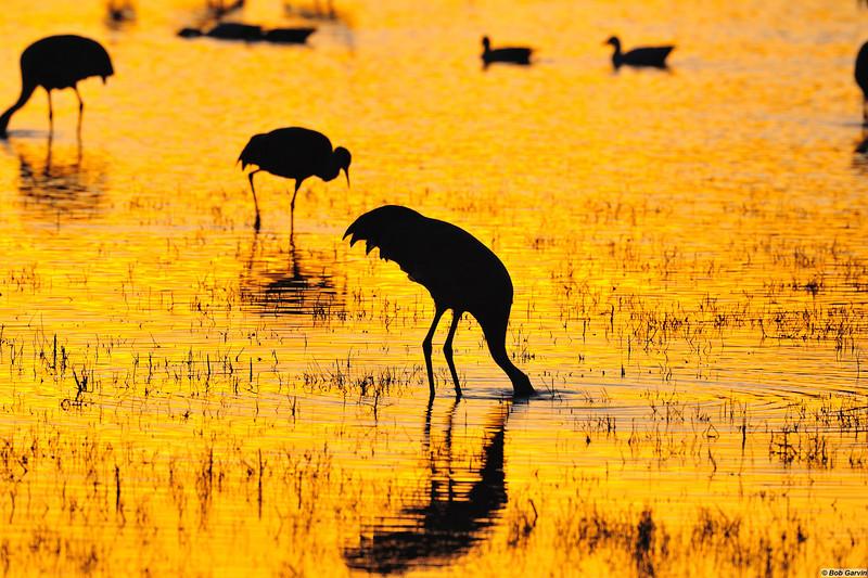 Sandhill Cranes, Sunset<br /> Bosque del Apache, NWR, New Mexcio, USA