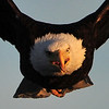 American Bald Eagle<br /> Weld County, Colorado<br /> At Sunset