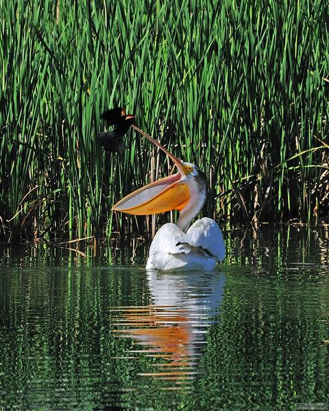 American White Pelican & Red Wing Blackbird<br /> Boulder County, Colorado<br /> Dodd Reservior