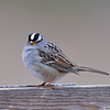 White-Crowned Sparrow<br /> Boulder County, Colorado