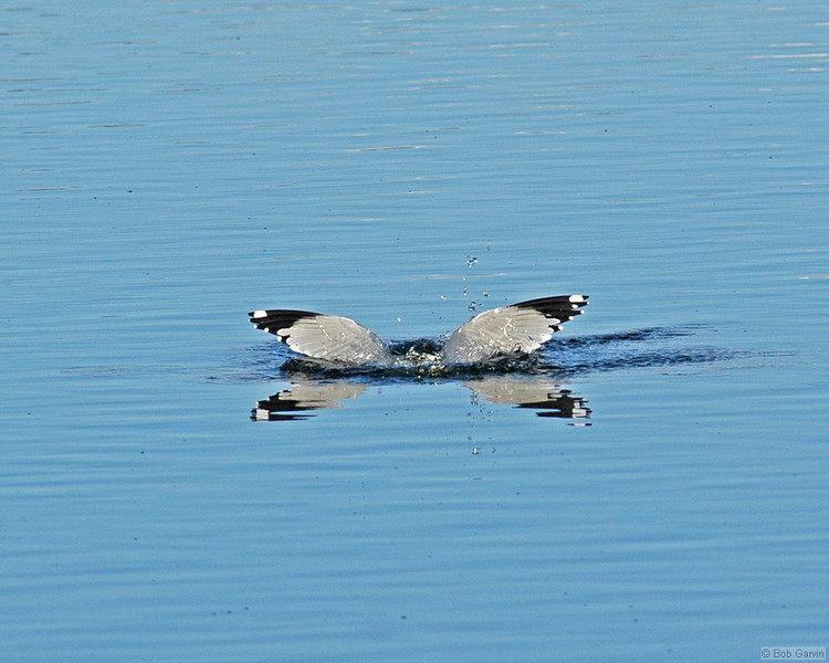 """Wings on Water""<br /> Ring-Billed Gull<br /> Boulder County, Colo<br /> Sawhill Ponds"