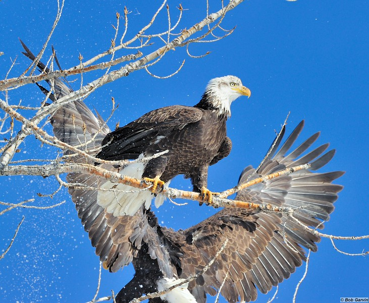 Bald Eagles<br /> Boulder County, USA<br /> Lagerman Reservoir