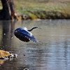 Great Blue Heron<br /> Boulder County, Colorado<br /> Boulder Country Club