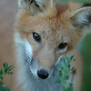 Red Tailed Fox (Pup)<br /> Boulder County, Colorado