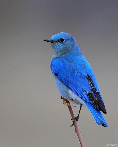 Mountain Blue Bird<br /> Weld County, Colorado