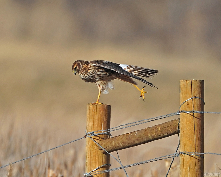 "Juvenile Northern Harrier<br /> Weld County, Colorado<br /> ""9.5"" for form"