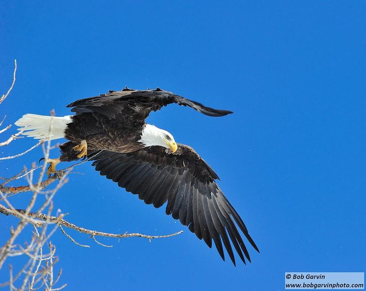 Bald Eagle<br /> Boulder County, USA<br /> Lagerman Reservoir