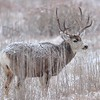 Mule Deer<br /> Rocky Mountain Arsenal NWR<br /> Adams County, USA