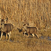 Mule Deer<br /> Bosque del Apache, NWR, New Mexcio, USA