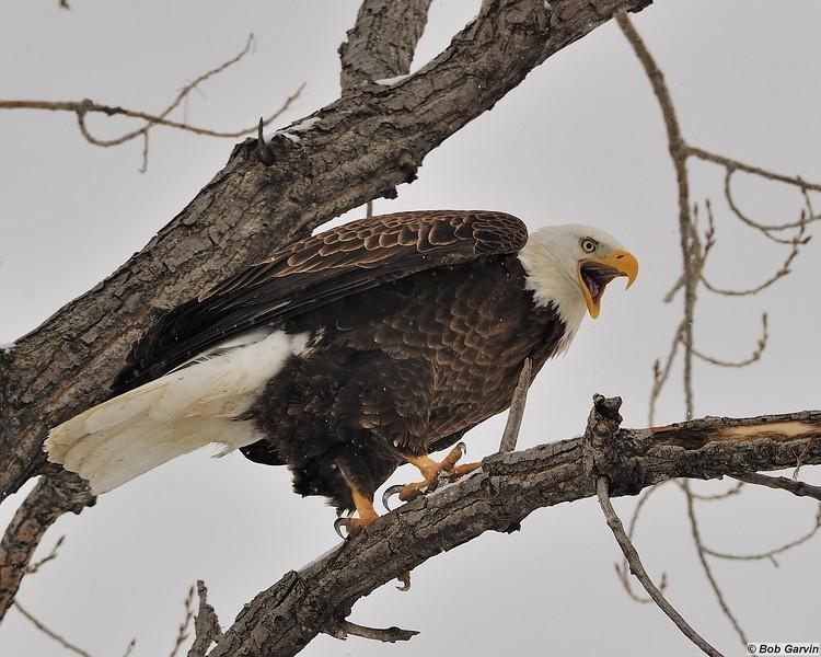 Bald Eagle<br /> Boulder County, USA