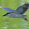 Black-crowned Night-Heron<br /> Boulder County, Colorado<br /> Dodd Resovior