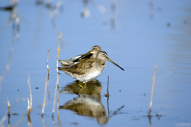Long-billed Dowitcher<br /> <br /> Bosque de Apache National Wild Life Refuge<br /> New Mexcio