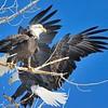 Bald Eagles<br /> Boulder County, USA<br /> Lagerman Reservoir