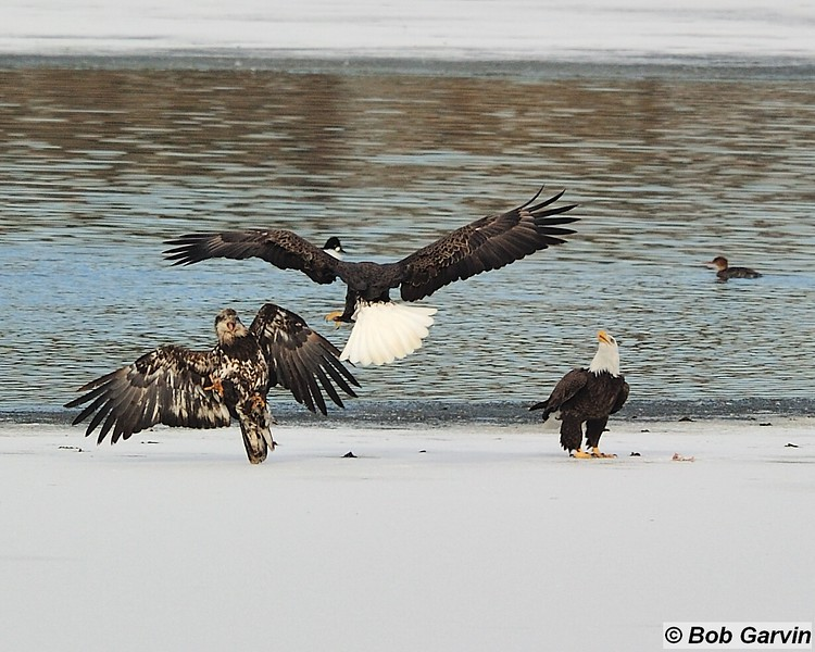 Bald Eagles<br /> Boulder County<br /> USA