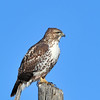 Immature Redtailed Hawk<br /> Boulder County, Colo<br /> Lagerman Reservoir