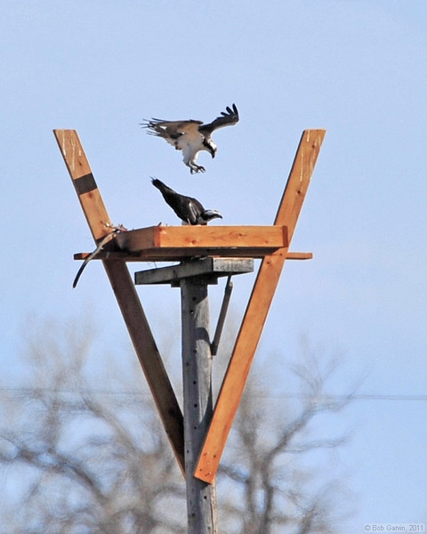 Osprey Pair (about to mate)<br /> Boulder County, Colorado