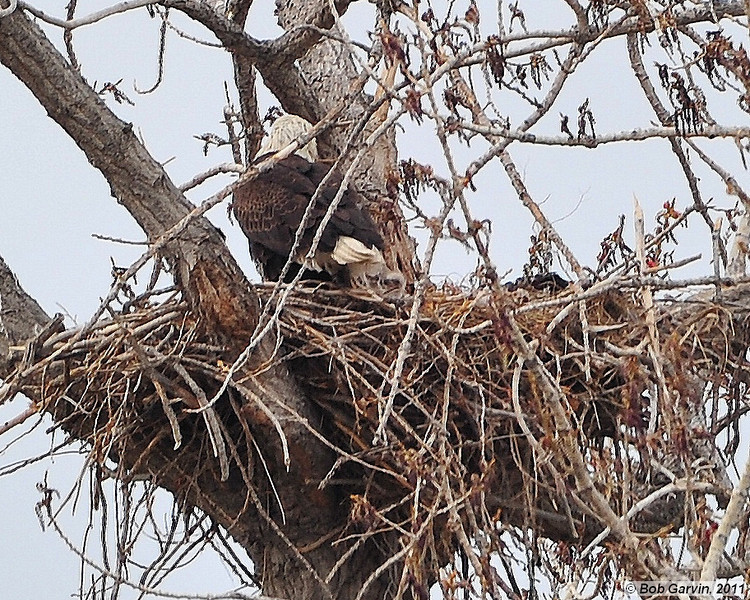 American Bald Eagle & Eaglet<br /> Boulder County, Colorado<br /> <br /> Two eaglets in the nest, one visible to right of the adults tail feathers.<br /> Ok, not a good pic.  But considering it was late in the day, overcast, poor light and the pic was taken with a 500 mm with stacked tele converters (1400 mm), wide open at f4 and 1/320 sec, and ISO 4000…not so bad.