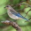 Mountain Blue Bird (female)<br /> Rocky Mountain National Park<br /> Larimer County, Colorado