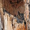 Great Horned Owl (nesting)<br /> Boulder County, Colorado