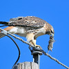 Red Tailed Hawk, with Field Mouse<br /> Boulder County, Colorado<br /> Dodd Resovior