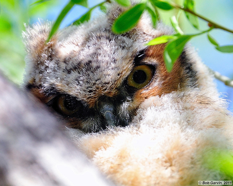 "Great Horned Owlet<br /> Boulder County, Colorado<br /> ""Hoo Hoo"""