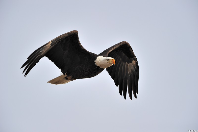 Bald Eagle<br /> Boulder Colorado, USA