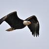 Bald Eagle<br /> Boulder Colorado, USA