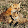 Red Tailed Fox with Kit<br /> Boulder County, Colorado