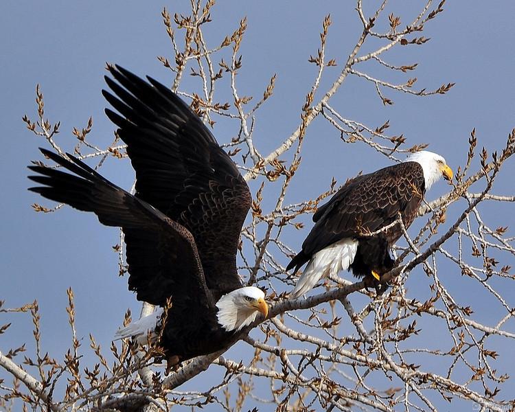 American Bald Eagle<br /> Boulder County, Colorado