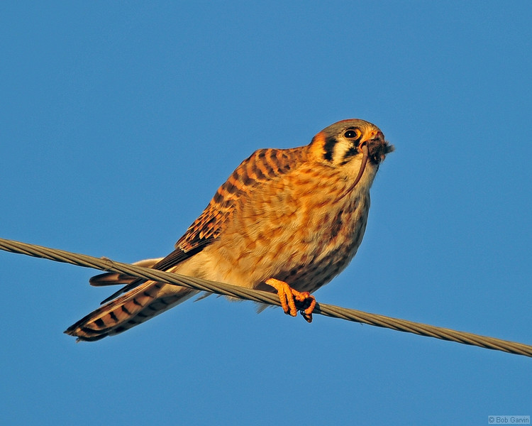 """I can't believe I ate the whole thing""<br /> American Kestrel (with field mouse)<br /> Weld County, Colorado"