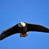 American Bald Eagle<br /> Boulder County, Colorado