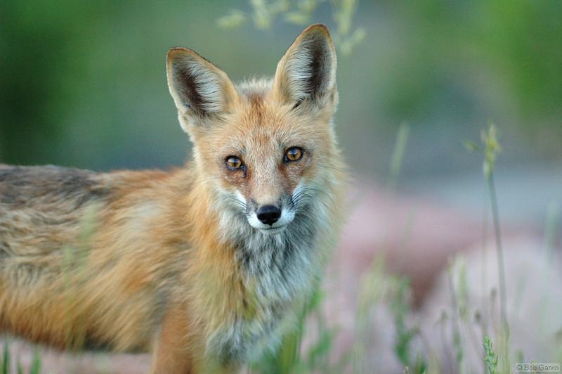 Red Tailed Fox (Mom)<br /> Boulder County, Colorado