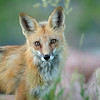 Red Tailed Fox (Mom)<br /> Boulder County, Colorado