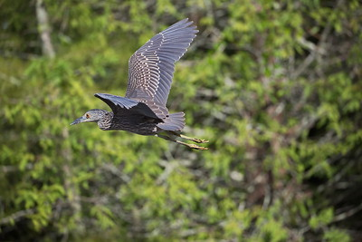 Juvenile Night Heron in flight
