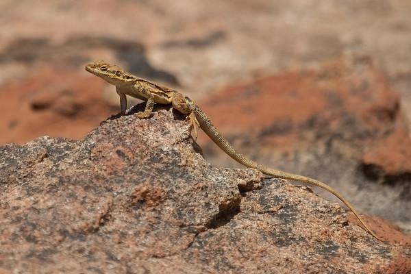 Ornate Dragon, female (Ctenophorus ornatus) - Disappointment Rock (Hyden), Western Australia