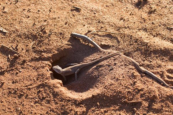 Nobbi (Amphibolurus nobbi) - Gluepot, South Australia