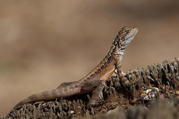 Crested (Bicycle) dragon (Ctenophorus cristatus) - Lake Cowan Lookout (Norseman), Western Australia
