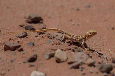 Painted Dragon, female (Ctenophorus pictus) - Arid Lands Botanic Gardens (Port Augusta), South Australia