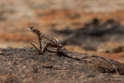 Ornate Dragon, female (Ctenophorus ornatus) - Disappointment Rock (Hyden), Western Australia