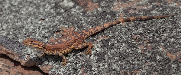 Ornate Dragon, Female (Ctenophorus ornatus) - McDermid Rock (Hyden), Western Australia