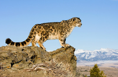 Snow leopard on a rocky ridge, surveying it's land