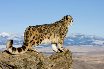 Snow leopard on a rocky ridge