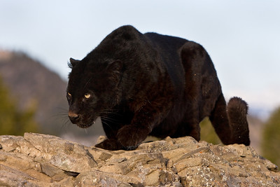 Black leopard stalking something