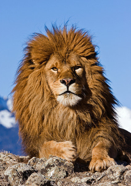 The Barbary Coast Lion, originally from Africa, is now extinct in the wild.