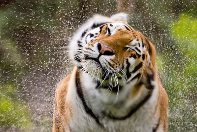 The Siberian tiger, a water loving cat, shakes after coming out of it's pond at the Calgary zoo.