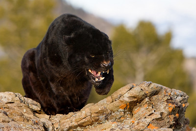 Black Leopard - this fellow was NOT a hampy-camper!