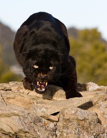 Black Leopard - just a little bit angry!